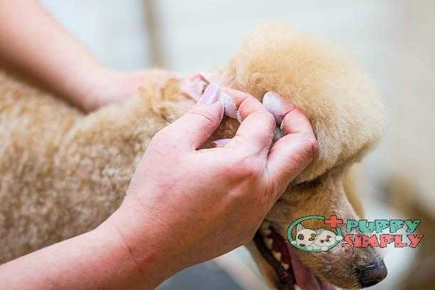 Cleaning dog ears how to clean dogs ears