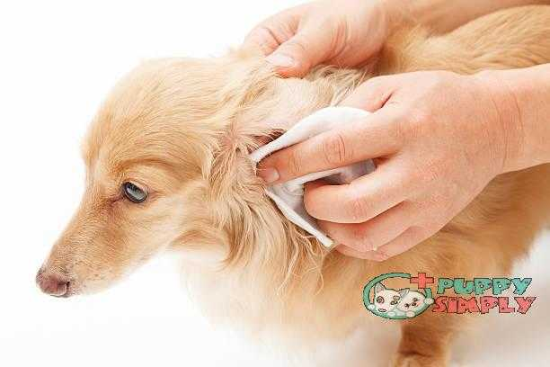 Earwax removal how to clean dogs ears