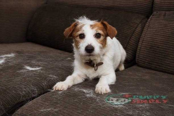 FURRY JACK RUSSELL DOG, SHEDDING HAIR DURING MOLT SEASON PLAYING ON SOFA. best brushes for shedding dogs