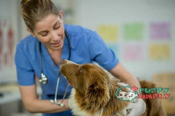 Vet Giving A Dog A Checkup how long does a female dog stay in heat