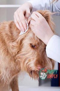 Vet cleaning dogs ear how to clean dogs ears