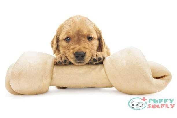Golden Retriever puppy with large rawhide bone - 4 weeks old Why Your Dog Needs Rawhide?