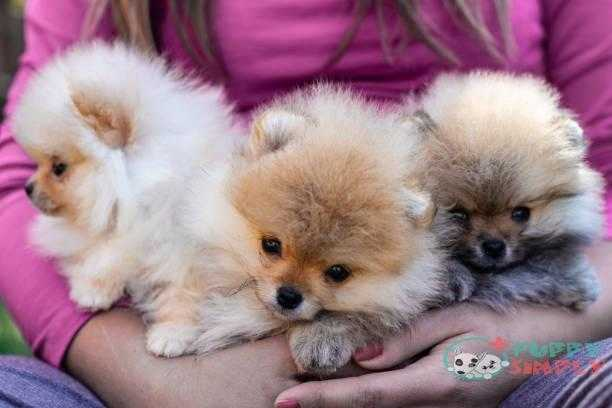 Smiling young woman holding her Pomeranian puppies Factors That Influence The Price Of A Pomeranian