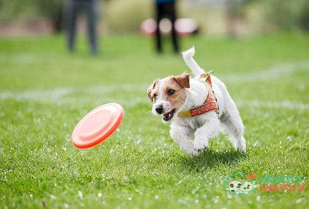 small dog playing with disk Hard frisbees for dogs Advantages And Disadvantages