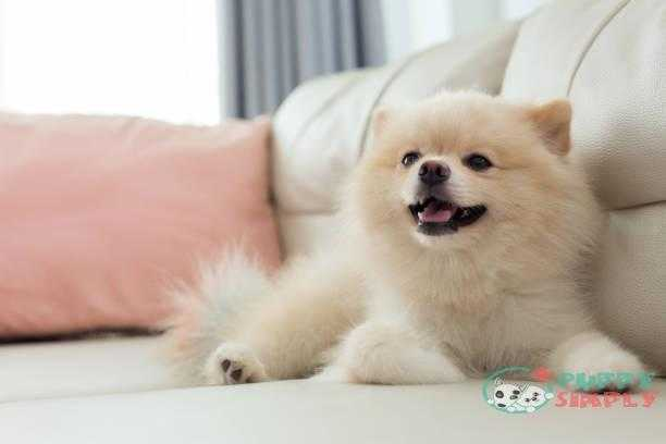 white puppy pomeranian dog cute pet happy smile in home with seat sofa furniture interior decor in living room how much do pomeranians cost