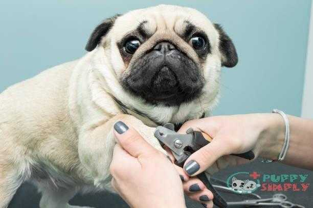 woman cuts the claws of a pug breed dog. - trim your dog's nails s and pictures How Often To Trim Your Dog's Nails