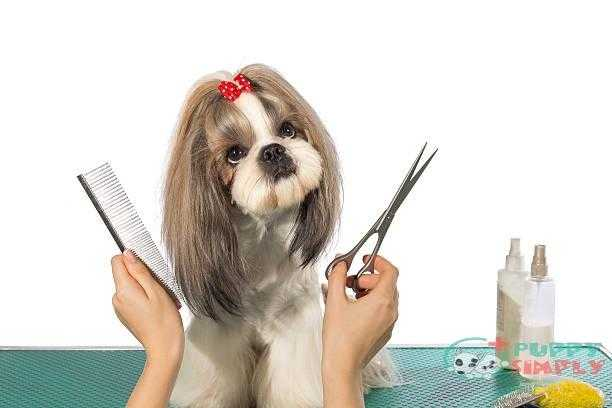 beautiful shih-tzu at the groomer's hands - cut dog hair around eyes s and pictures how to cut dog hair around eyes