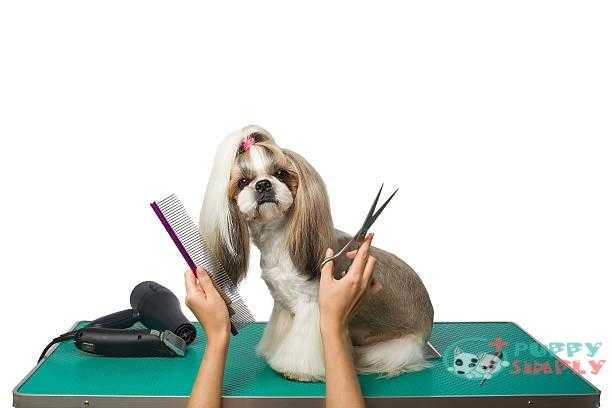 beautiful shih-tzu at the groomer's hands - cut dog hair eyes s and pictures How To Cut Dog Hair Around Eyes