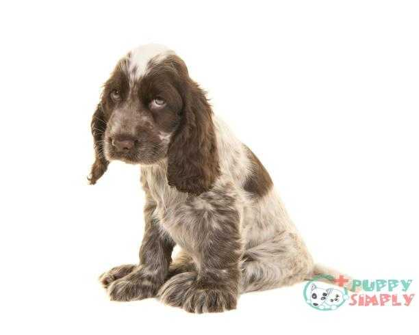 sad looking cocker spaniel puppy dog sitting - depression dog s and pictures What Can We Do To Treat Dog Liver Disease?
