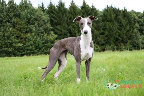whippet portrait in the park - greyhound s and pictures Greyhound