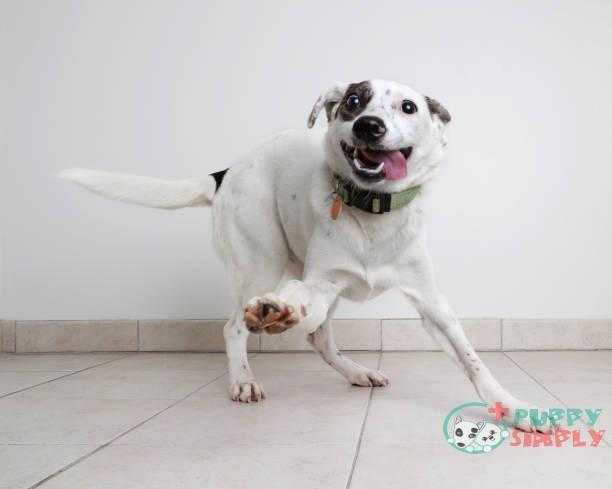 energetic australian cattle dog mixed breed dog hoping to be adopted - mixed-breed dogs s and pictures How long do mixed-Breed Dogs Live