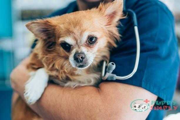 love between cute chihuahua and veterinarian doctor - chihuahuas s and pictures What Is The Longest Living Dog Breed?