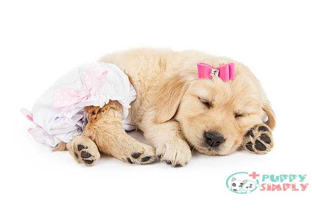 Male Diapers Vs Diapers For Female Dogs