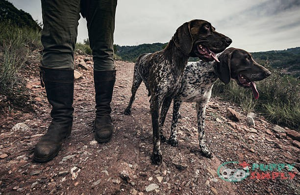 German Shorthaired Pointer off leash