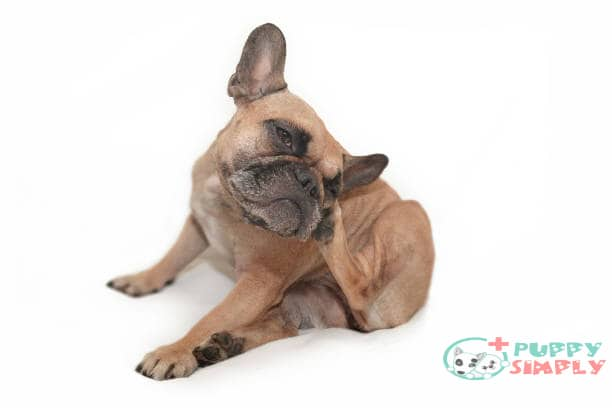 Causes of Itchy and Dry Skin in Dogs