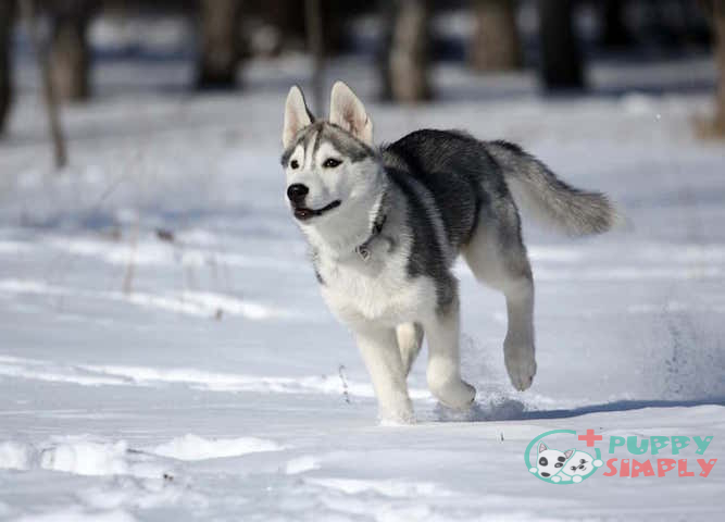 Factors That Impact the Cost of a Siberian Husky