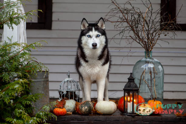 How Much Do Huskies Cost When Buying From Breeders?