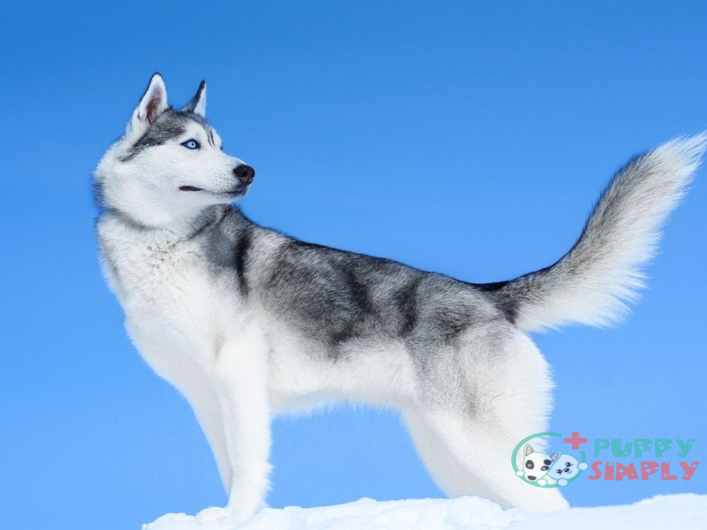 How Much is a Siberian Husky Cost