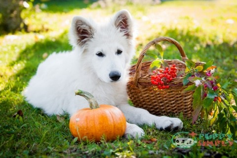 How to Feed Pumpkin to Your Dog