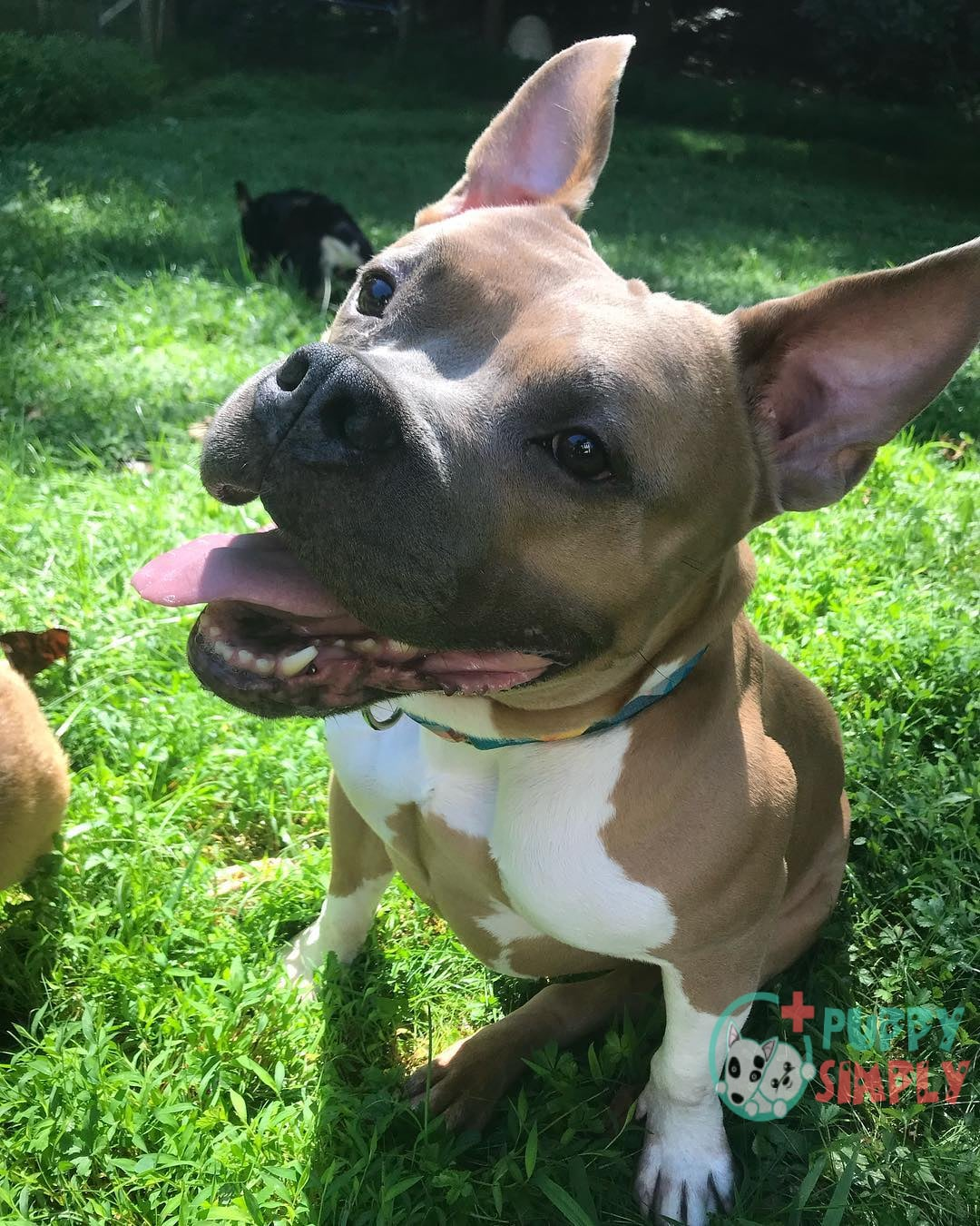 Training Your French Bulldog Mixed With Pitbull