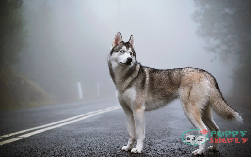 Why Are Huskies So Expensive?