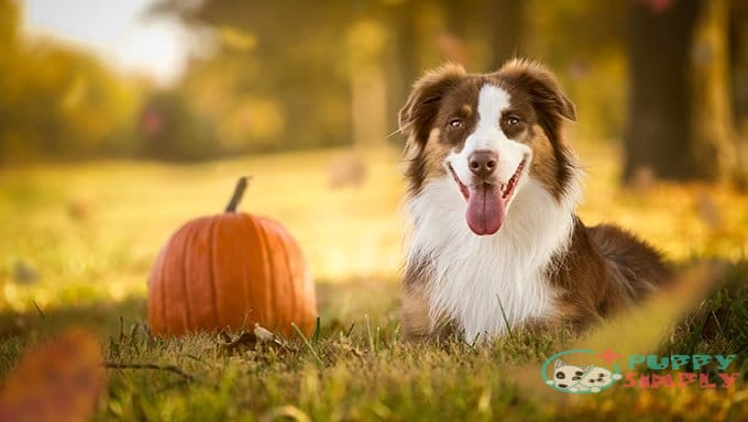 is pumpkin bad for dogs