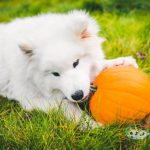 is pumpkin good for dogs