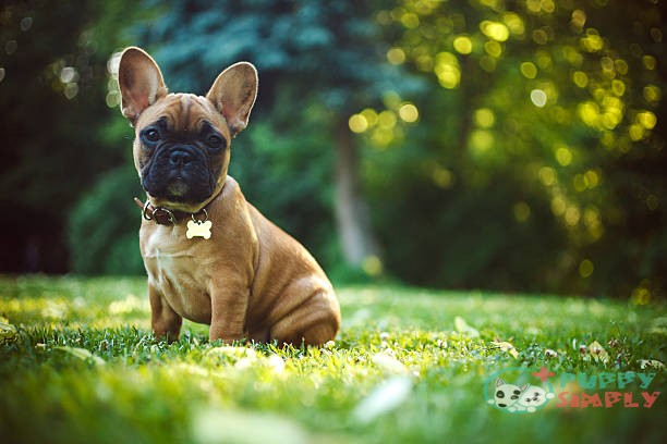 French Bulldog French Bulldog French Bulldog stock pictures royalty-free photos & images