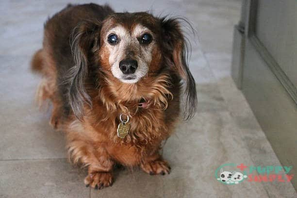 How Old Was the Oldest Dachshund?