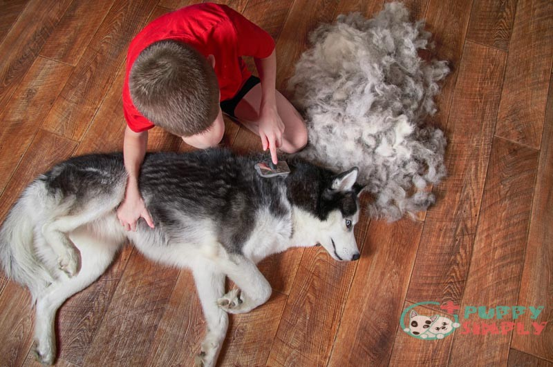 How To Brush Your Husky Properly