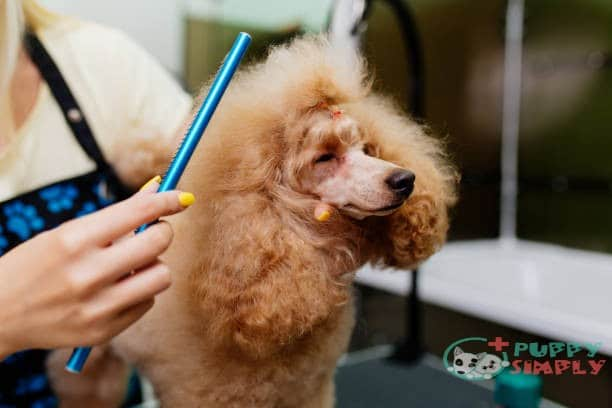 How to Pick the Best Dog Brush for Poodles