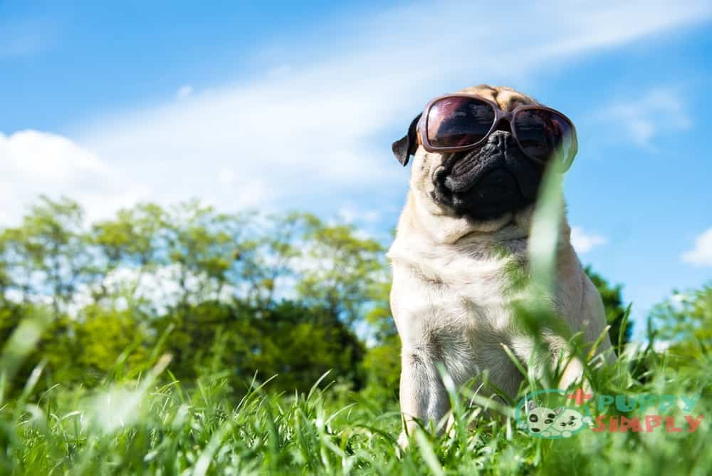 Nutritional Requirements for Pugs