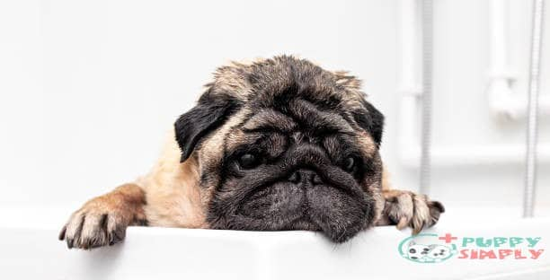 Wellness Issues for Pugs