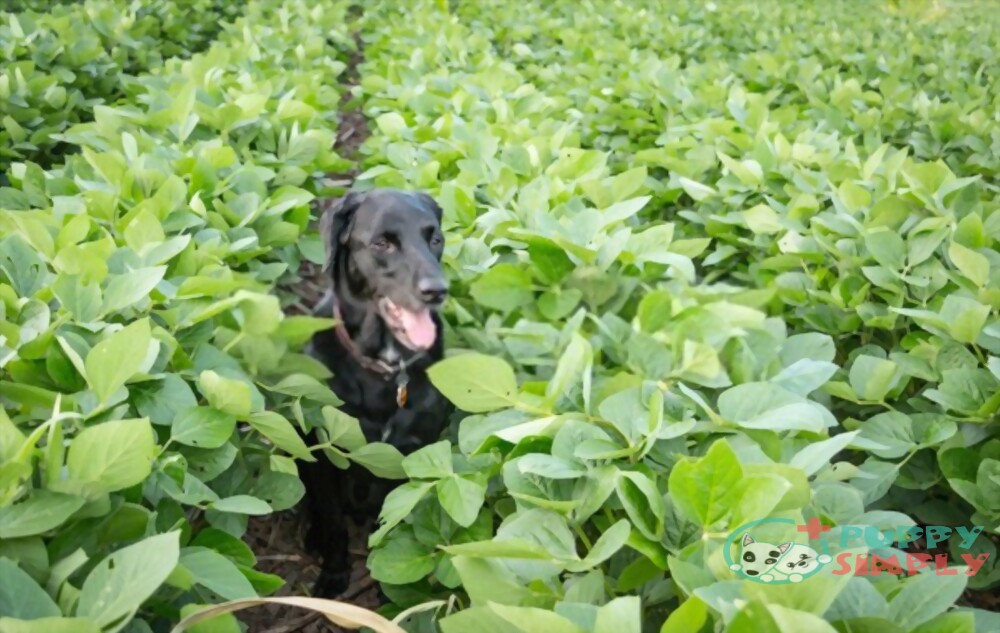 Is Edamame Bad for Dogs?