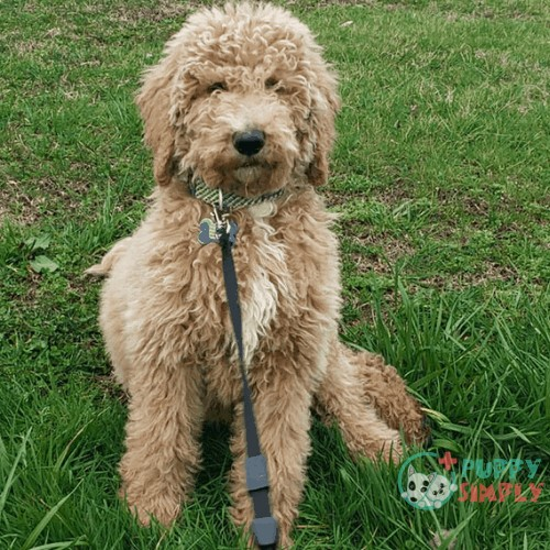 What is an F2BB Goldendoodle?