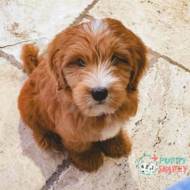 What is an F3 Goldendoodle?